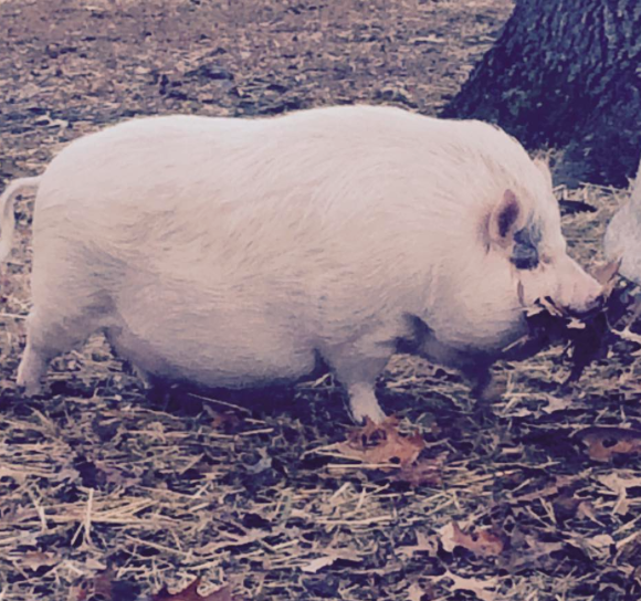 How To Help Your Obese Pig Lose Weight Pal Pig Advocates League