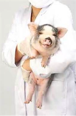 Veterinarians That See Pigs Pal Pig Advocates League